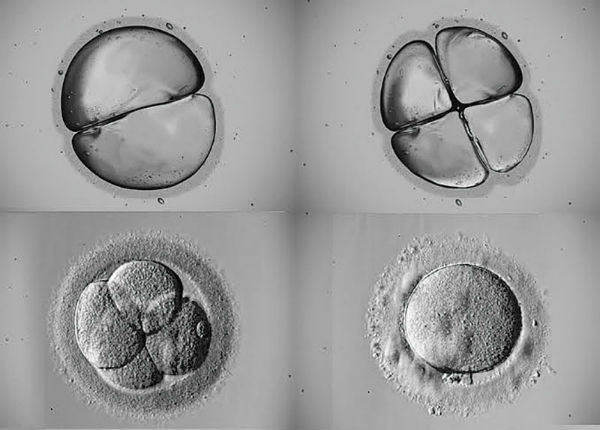 News-1-embryo-development